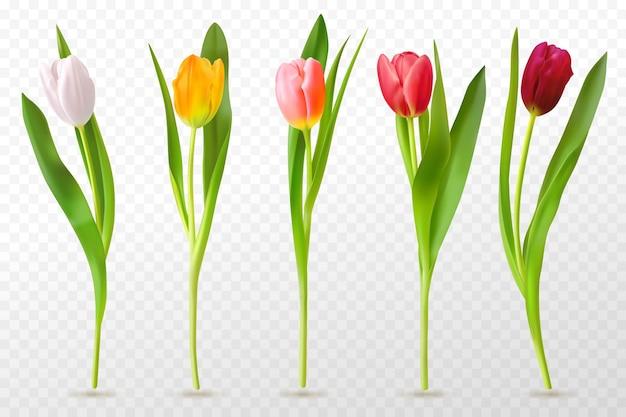 Kolorowe tulipany. piękne pąki tulipanów