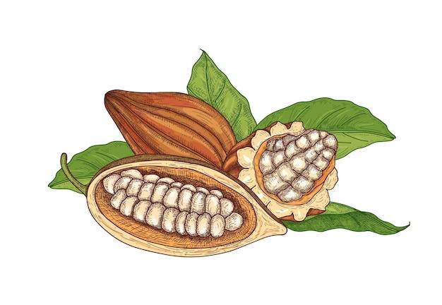 Kolorowy naturalny rysunek całych i ciętych dojrzałych strąków drzewa kakaowego z fasolą i liśćmi