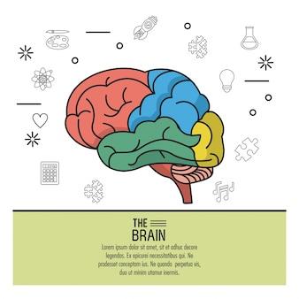Kolorowy plakat mózgu z różnymi częściami w kolorach