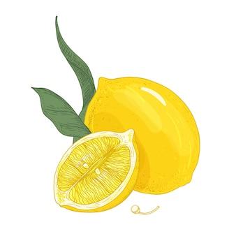 Kolorowy rysunek botaniczny cytryn całych i ciętych z liśćmi i nasionami. świeże kwaśne żółte owoce cytrusowe ręcznie rysowane na białym tle.