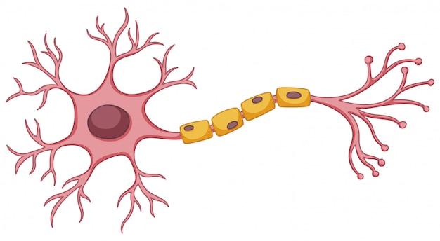 Komórka macierzysta diagram na białym tle