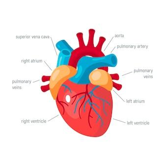 Koncepcja ludzkiego serca na białym tle