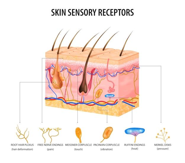 Koncepcja receptorów czuciowych skóry z płaskimi nerwami i włosami