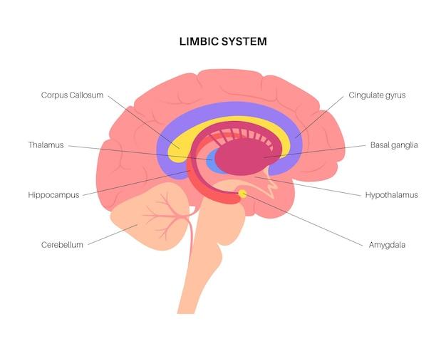Koncepcja układu limbicznego i anatomia ludzkiego mózgu. ilustracja wektorowa kory mózgowej i móżdżku