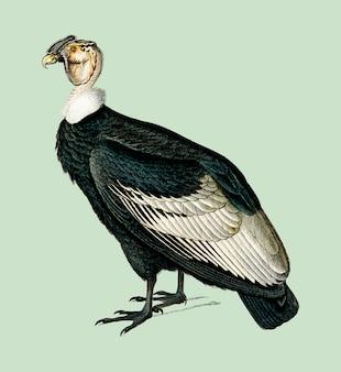 Kondor andyjski (vultur gryphus) zilustrowany przez charlesa dessalines d'orbigny (1806-1876).