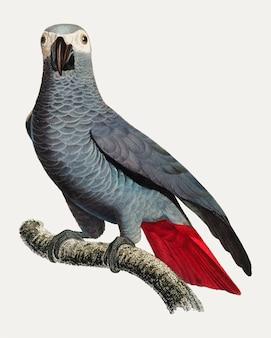 Kongo szara papuga