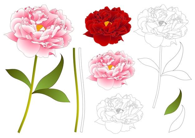 Kontur kwiat różowy i czerwony piwonia