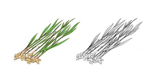 Korzeń imbiru, posiekane kłącze, świeża roślina.