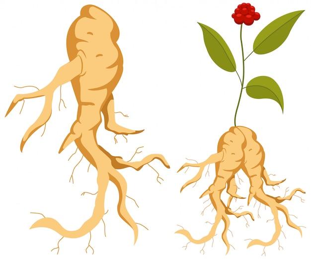 Korzeń żeń-szenia z liśćmi i kwiatem
