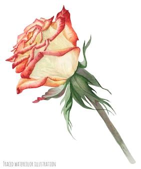 Kremowo-czerwona róża ogrodowa