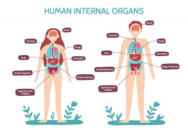Kreskówka anatomii ludzkiego ciała. męskie i żeńskie narządy wewnętrzne, ludzka fizjologia ilustracja mapa