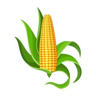 Kukurydza. na białym tle dojrzałe kłosy kukurydzy.