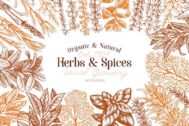 Kulinarne zioła i przyprawy ręcznie rysowane retro botanicznych ilustracji.