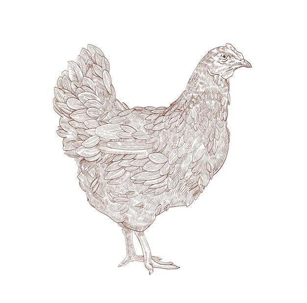 Kura lub kurczak ręcznie rysowane z liniami konturu na białym tle