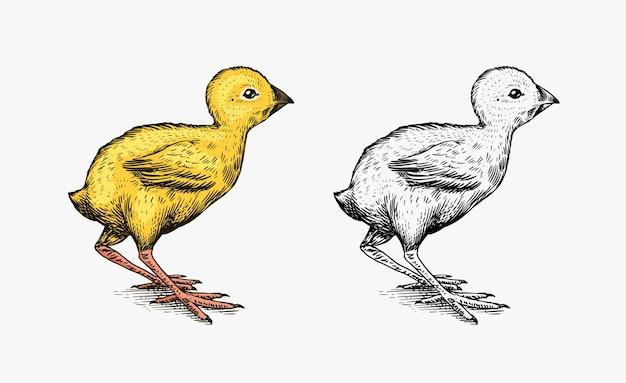 Kurczak lub ptaszek hodowlany. grawerowane ręcznie rysowane szkic vintage.