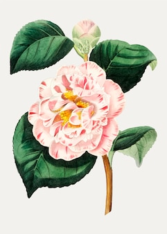 Kwiat camellia