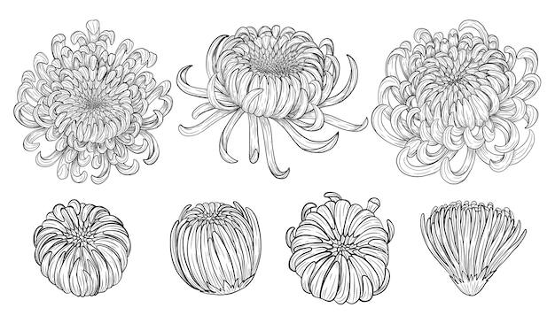 Kwiat chryzantemy ręcznie rysunek