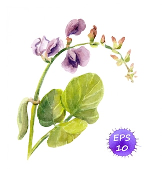 Kwiat groszku - aquarelle akwarela namalowany rysunek