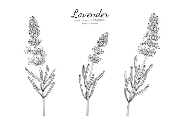 Kwiat lawendy i liść ręcznie rysowane ilustracja botaniczna z grafiką.