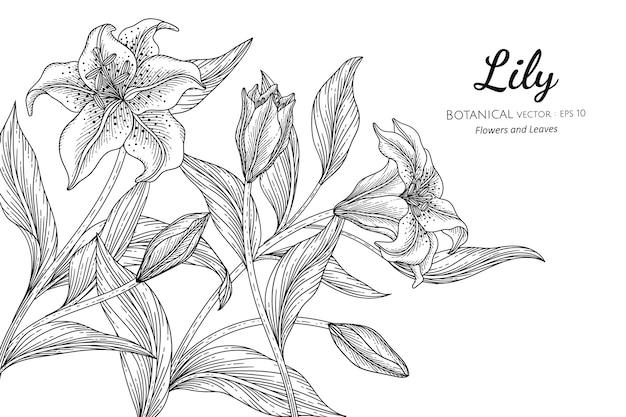 Kwiat lilii i liści w ręcznie rysowane ilustracji botanicznych