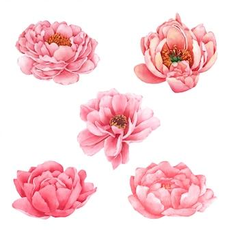 Kwiat piwonii ręcznie malowany akwarelą