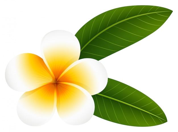 Kwiat plumeria z dwoma liśćmi