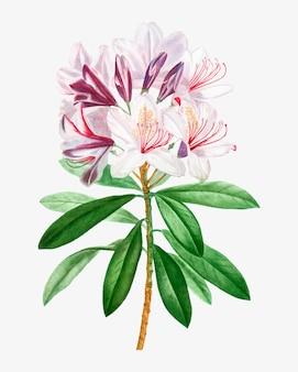 Kwiat różowy rododendron