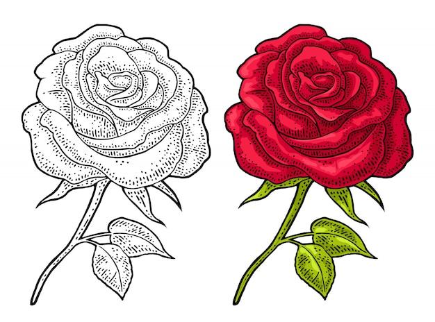 Kwiat róży z liściem. koloru rytownictwa rocznika ilustracja na bielu