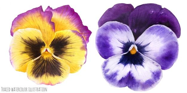 Kwiaty bratek