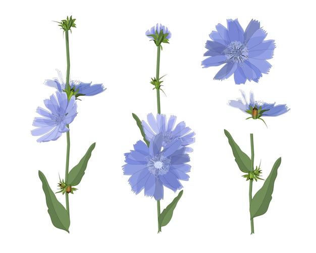 Kwiaty cykorii niebieskiej z łodygą i liśćmi. elementy kwiatowe na białym tle