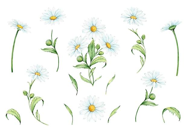 Kwiaty, gałęzie i liście rumianku. akwarela zestaw roślin na na białym tle.