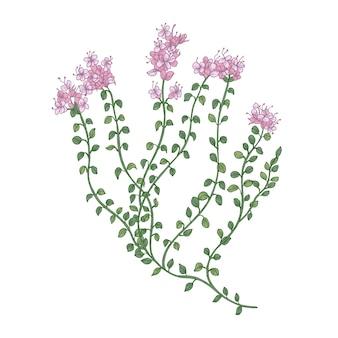 Kwiaty tymianku lub kwiatostany na białym tle
