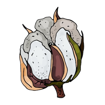 Kwitnąca bawełna na odosobnionym białym tle kontur rysowany jest ręcznie