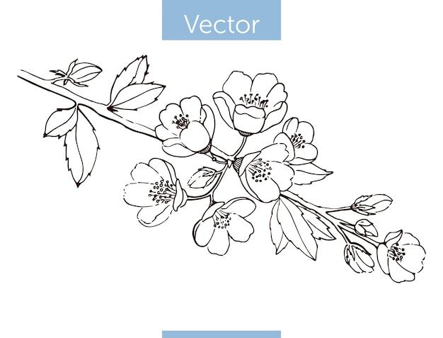 Kwitnąca gałąź pigwy. rysowane ręcznie.