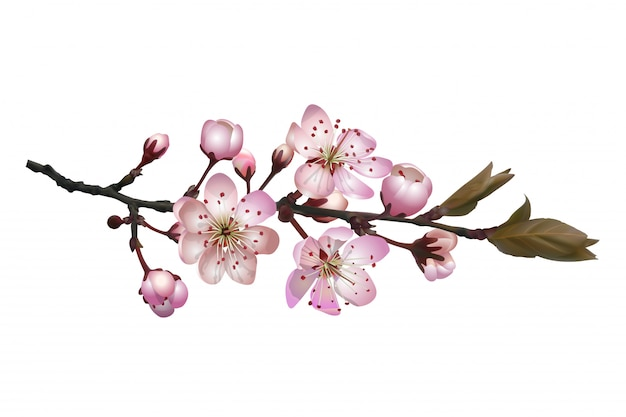 Kwitnąca gałąź wiśni sakura z różowymi kwiatami