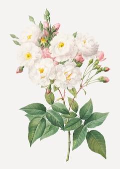 Kwitnąca krzew róży