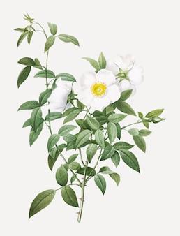 Kwitnące białe róże
