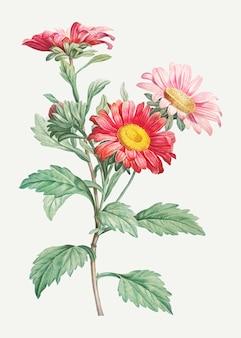 Kwitnące czerwone kwiaty aster