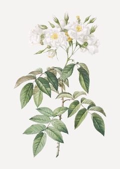 Kwitnące róże piżmowe