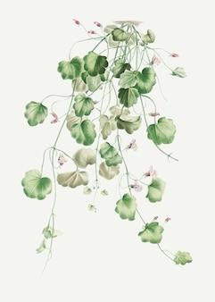 Kwitnący bluszcz kenilworth