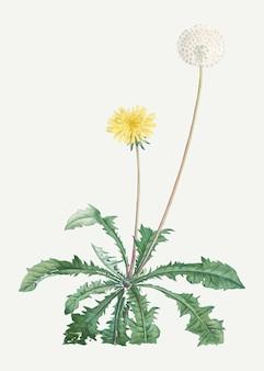 Kwitnący mniszek lekarski