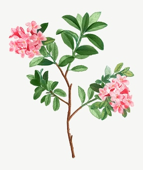 Kwitnący różowy rododendron