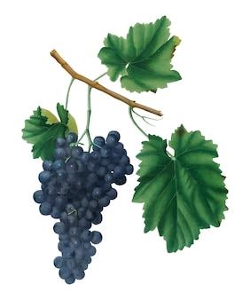 Lacrima winogrona od pomona italiana ilustraci