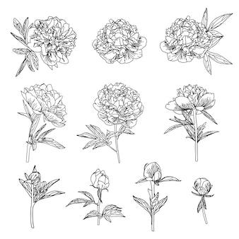 Ładny kwiat piwonii zestaw w stylu sztuki linii na białym tle.