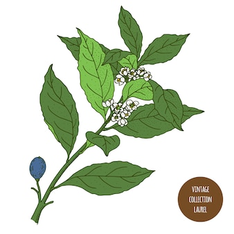 Laur. liść laurowy vintage botanika wektor ręcznie rysowane ilustracja na białym tle. styl szkicu zioła kuchenne i przyprawy.