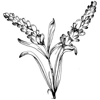 Lawenda na białym tle szkic ilustracji. ręcznie rysowane element na ślub zioło, roślina lub monogram z eleganckimi liśćmi na zaproszenie zapisz projekt karty data. botaniczna rustykalna modna zieleń.