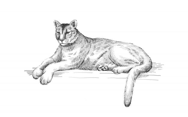 Leżąca kuguar. leżący amerykański lew górski, czerwony tygrys, zwierzę pantera. puma drapieżnik w zoo, ilustracja, ręka rysująca nakreślenie sztuka