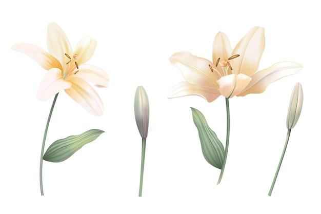 Lily vintage realistyczna ilustracja. kwiatowy pastelowy styl akwareli.