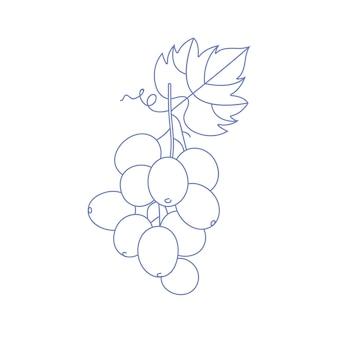 Liniowa ilustracja wektorowa winogron oddział z liściem na białym tle.
