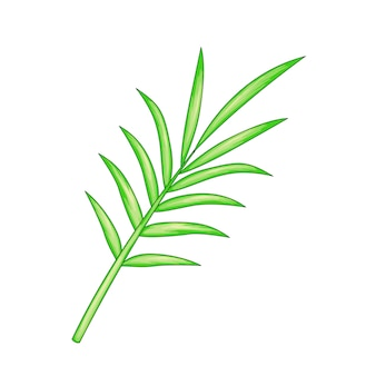Liść palmowy na białym tle.